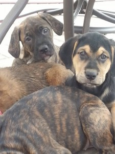 brindle puppy and shepherd puppy