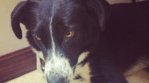border collie with heartworm