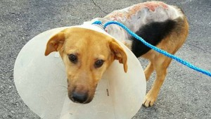 Illinois animal rescue rescues dog with chemical burns